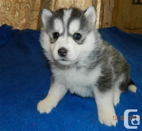 siberian husky puppies for adoption siberian husky puppies for adoption for sale in ontario classifieds