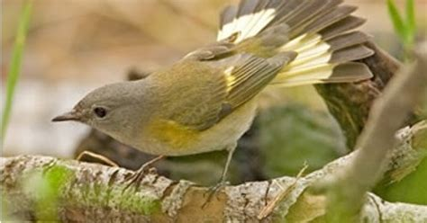 wild birds unlimited warbler that looks like a female