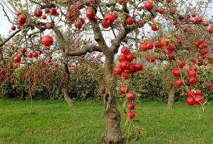 wallpaper apple tree apple garden tree branch