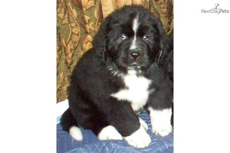 newfoundland puppies california newfoundland puppies for sale edogshow breeds picture