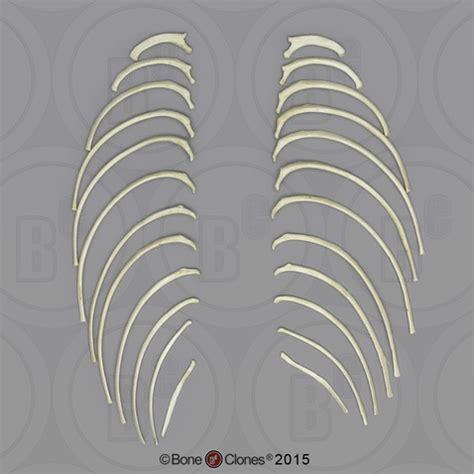 Indri Set indri lemur ribs set of 24 left and right bone clones