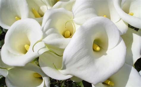 types of calla lilies 100 types of the most beautiful white flowers for your