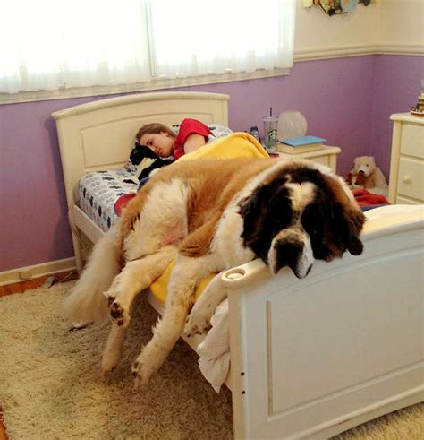 dog on bed 14 pros and cons to letting your dogs sleep in bed with you
