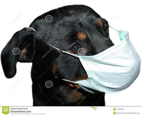rottweiler mask rottweiler in mask stock photography image 11950682