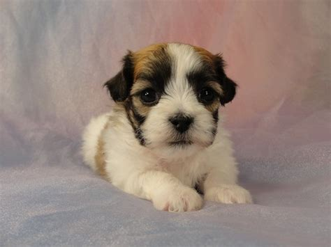 shih tzu puppies for sale iowa imperial shih tzu puppies iowa