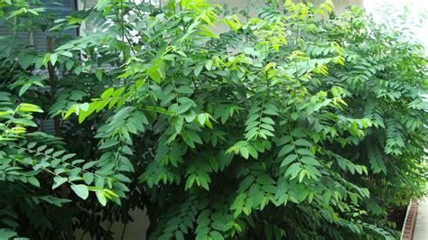 Madu Untuk Extrak Daun Katuk 1 pohon daun katuk