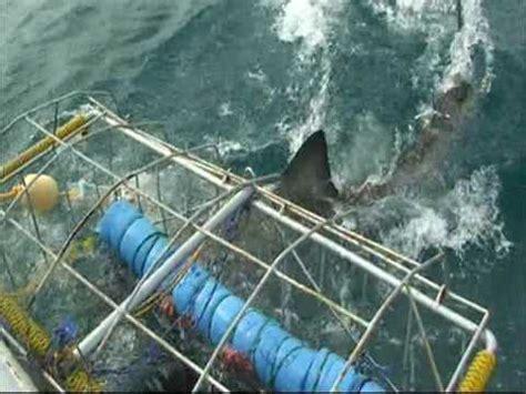 gabbia squali in mare con lo squalo bianco gasba bay sud africa