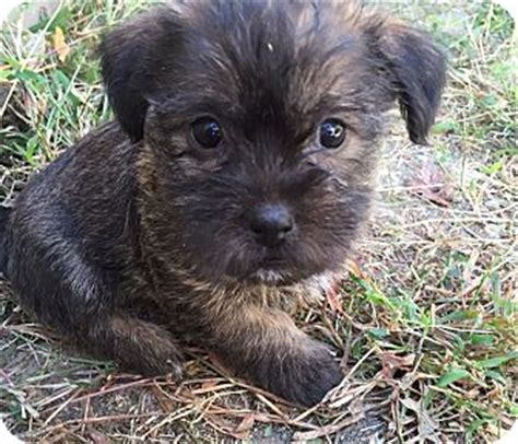 cairn terrier pomeranian mix finn pending adoption adopted puppy omaha ne cairn terrier pomeranian mix