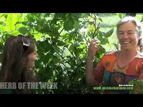 esteemed ayurvedic herb: brahmi   doovi