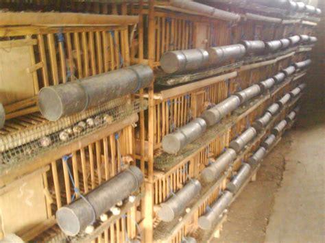 Bibit Ayam Malindo panduan beternak puyuh tentang kandang puyuh puyuh jaya