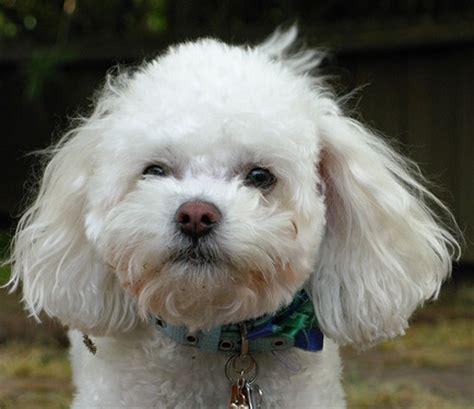lifespan of bichon poodle bichon frise poodle mix bichpoo poochon a bichon frise