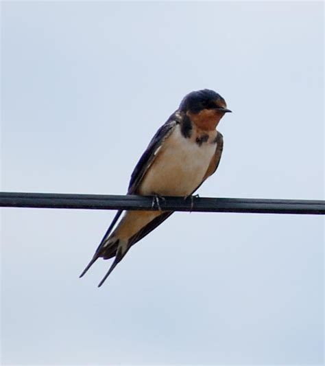 avian explorer 187 blog archive 187 swallows