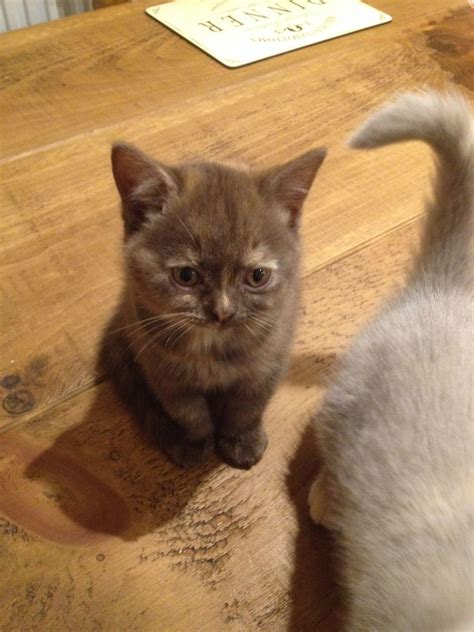 shorthair kittens for sale shorthair kittens for sale grimsby lincolnshire