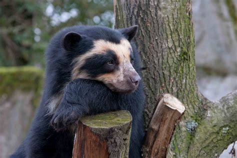 Spectacled Bear | spectacled bear the life of animals