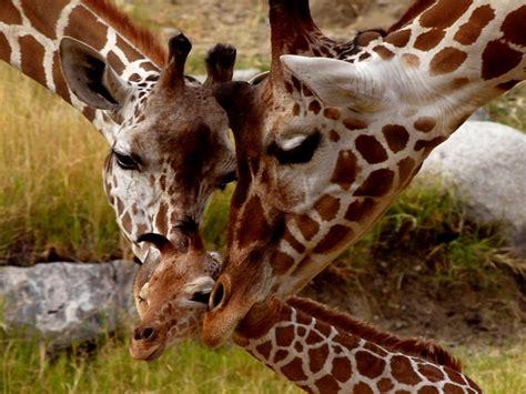 giraffe small cub parental love animals  africa hd
