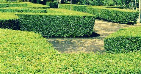 Tanaman Pagar Teh Tehan Tanaman Tetehan cara memperbanyak pohon teh tehan dan ciri acalypha siamensis