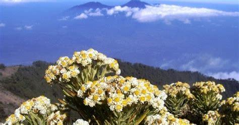 bunga edelweis  bunga abadi leontopodium alpinum