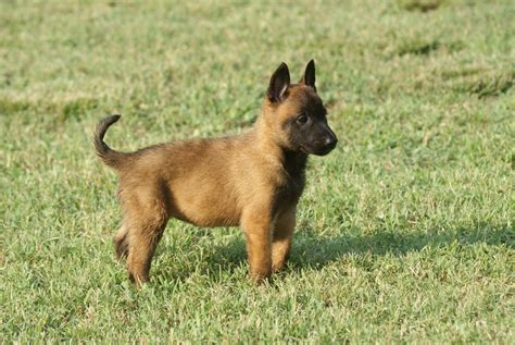 belgian dogs pictures of belgian shepherd malinois breeds picture
