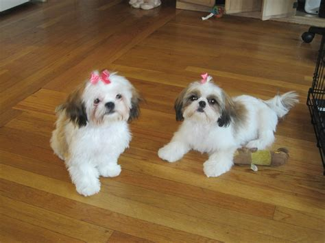 how to groom shih tzu puppy grooming shih tzu s by elaine