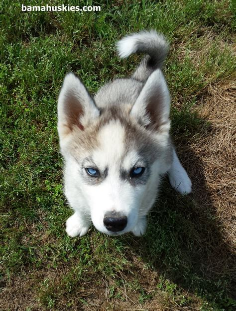 baby husky puppies husky puppy and baby redbirds 171 siberian husky puppies for sale siberian husky
