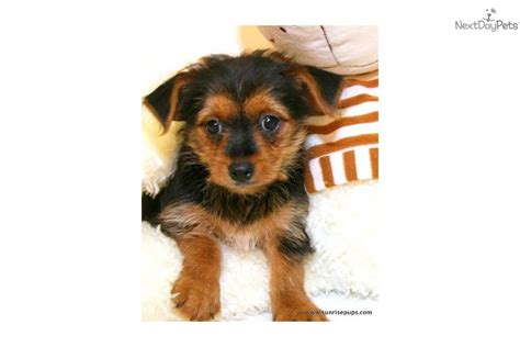 how smart are yorkies meet ronnie a yorkiepoo yorkie poo puppy for sale for 299 smart ronnie