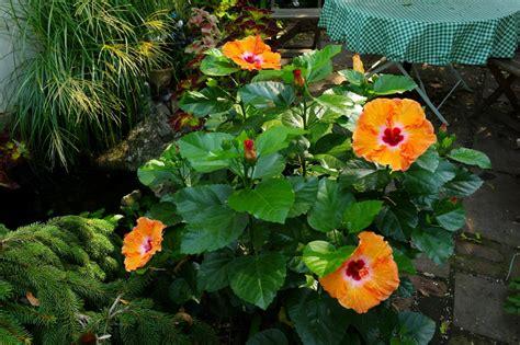 hibiscus garten miss pegi gets it right re hibiscus plant management in