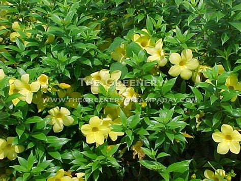 Tanaman Merambat White Mandevilla the greenery nursery and garden center