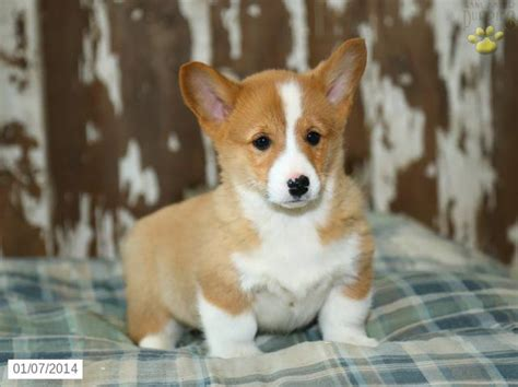 corgi puppies for sale san antonio corgi puppies click here to see even more pictures of this litter of corgi