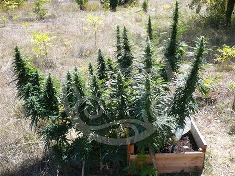 canapé d exterieur cultiver du cannabis en ext 233 rieur philosopher seeds