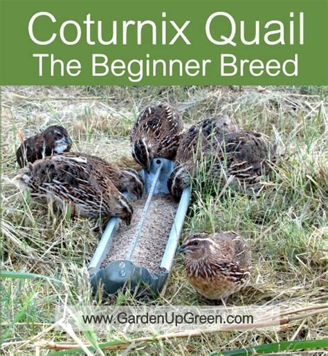 raising backyard quail best 25 raising quail ideas on pinterest