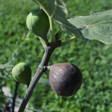best fig chicago hardy fig fig trees stark bro s