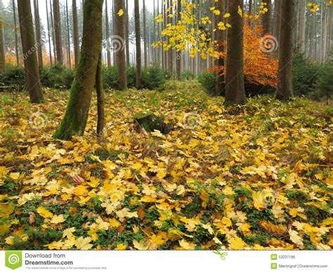 Trees Shed Leaves by Autumnal Maple Tree Forest Floor Stock Photo Image 53237196