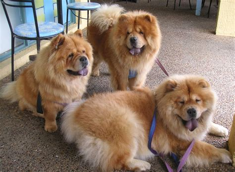 chow puppies chow chow the of animals