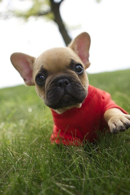 Nsweater Buldog 258 best images about bulldog on