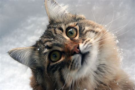 Cats In The Flickr by Cats In The Snow A Gallery On Flickr
