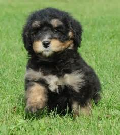 bernese mountain and poodle mini bernedoodle bernese mountain miniature poodle swissridge bernedoodles