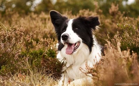 Do Border Collie Shed by 17 Best Ideas About Border Collie Shedding On Border Collie Blue Merle Border