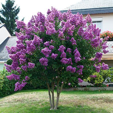 purple twilight crape myrtle for sale   fast growing trees