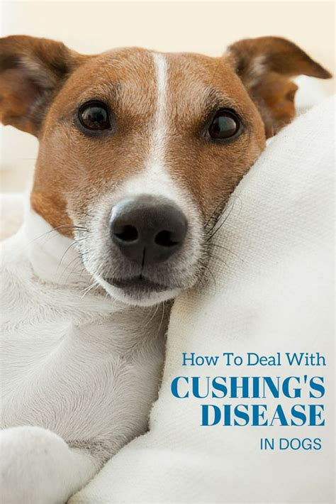 cushing in dogs best 25 cushing disease ideas on cushing s