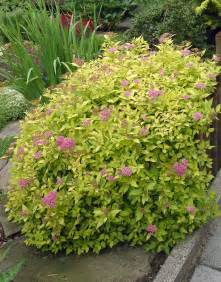 goldflame spirea shrubs images