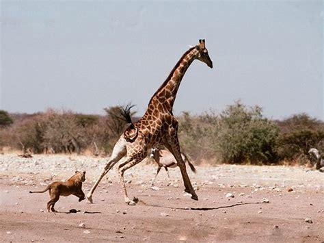 imagenes de leones cazando jirafas leonas persiguiendo a una jirafa animales en video
