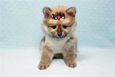 pomeranian toys pomeranian puppy in l a found a new loving home