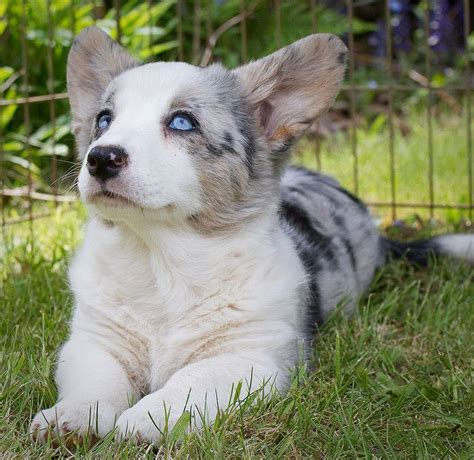 blue merle corgi puppies blue merle cardigan corgi pup corgies beautiful baby dogs