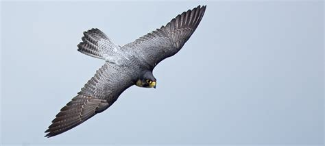 peregrine falcon diving google search eagle falcon
