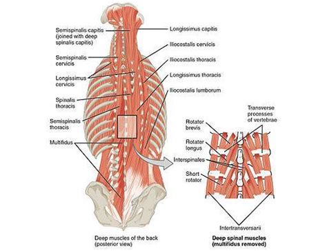 quadratus lumborum management for ql strain recovery strengthening and management books low back a guide for coaches and athletes on anatomy