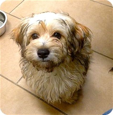 havanese puppies for adoption in louisiana beverly ca havanese yorkie terrier mix meet margo a puppy for