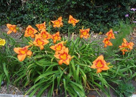di giorno fiore di giorno fiore piante annuali caratteristiche