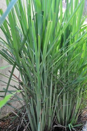 Tanaman Sereh Wangi Pohon Herbal Sereh Wangi Sereh Merah jual tanaman sereh wangi tanaman herbal navika taman