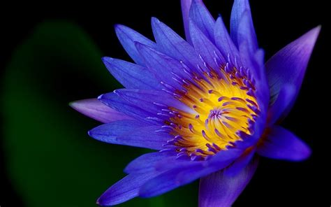 fiore flowers purple flower hd wallpapers