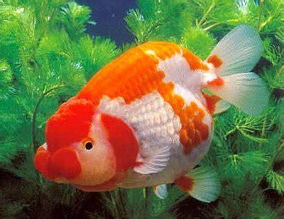 Anting Ikan Koki Goldfish jenis jenis ikan koki goldfish